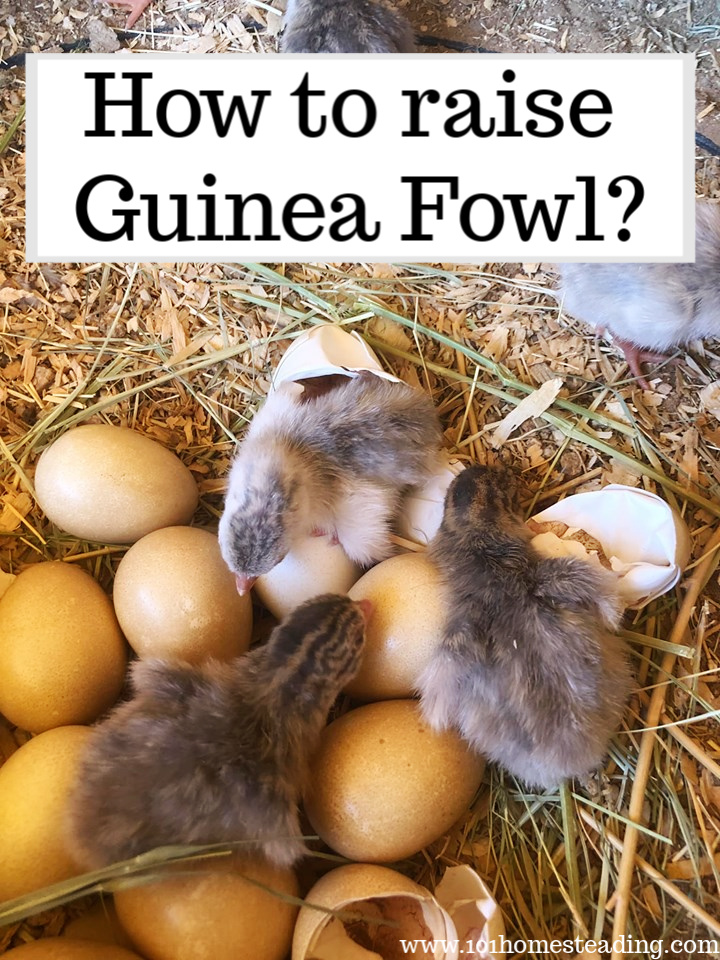 How to raise guinea fowl Guinea Fowl eggs