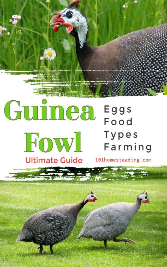 Raising guinea fowl