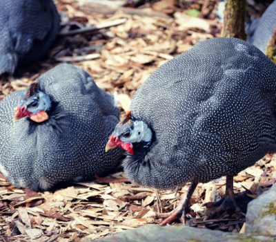guinea fowl ultimate guide